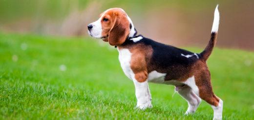 cani-beagle